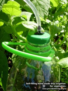 Using recycled plastic bottles to drip irrigate the plants in my garden.