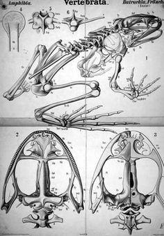 #biology #frog #skeleton