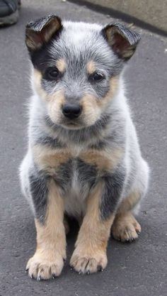 blue heeler puppy- I want one!