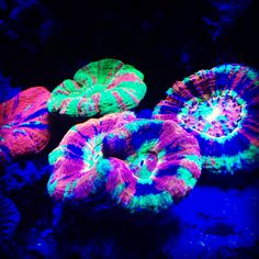 Coral Scolymia Beautiful Reef Aquarium