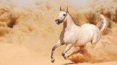 Purebred white arabian horse running in desert by smeola, via Shutterstock White Arabian Horse, White Horses, Horse Photos, Horse Pictures, Majestic Horse, Beautiful Horses, Pretty Horses, Arabic Horse, Horse Wallpaper