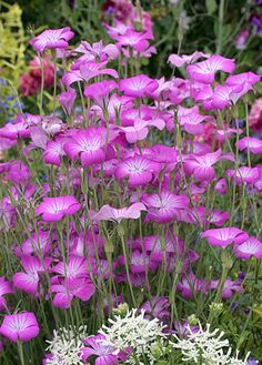 """Agrostemma githago 'Milas'.  Sways in the slightest breeze.  36"""" tall.  Great for a cottage garden look.  Full sun."""
