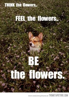 Zen Corgi---@Melissa Squires Samuelson I can picture Henry doing this...