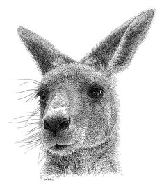 Kangaroo Pen and Ink Drawing. his animals are simply amazing! Dotted Drawings, Realistic Pencil Drawings, Ink Pen Drawings, Kangaroo Illustration, Illustration Art, Animal Illustrations, Animal Sketches, Animal Drawings, Kangaroo Drawing