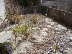 Japanese knotweed growing through concrete