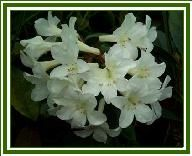 Pacific Island Nursery is a mail-order nursery located in Keaau, Hawaii specializing in Hawaii grown Vireya Rhododendron and other tropical plants, such as cordyline ti, pandan. Tropical Plants, Garden Plants, Island, Projects, Log Projects, Blue Prints, Islands