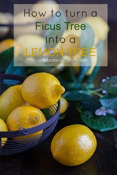See how to turn a Ficus tree into a lovely, fragrant Lemon Tree. Yup, you can do that.