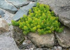 'Angelina' Sedum likes it hot and sunny.  Minimal watering for succulent.