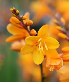 Crocosmia × crocosmiiflora 'George Davison'  - This bulbous perennial has sword-like, green leaves and arching spikes of rich amber-yellow, freesia-like flowers in July and August. These cheerful montbretia are perfect for a planting scheme based on 'hot' colours. For maximum impact plant in bold drifts in a sunny, sheltered site with moderately fertile, humus-rich, well-drained soil.