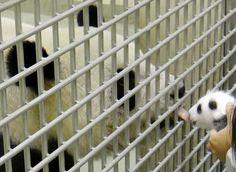 """Un panda bebé, que nació el 6 de julio por inseminación artificial, se reunió con su madre """"Yuan Yuan"""" un mes después de haber sido trasladado a una incubadora, donde recibió un cuidado especial durante los primeros días tras su nacimiento. La panda gigante tiene 9 años y ambos ejemplares viven en el zoológico de Taipei, en Taiwán. Foto: AP"""