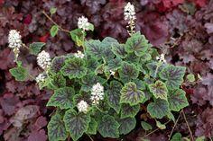 Tiarella cordifolia 'Appalachian Trail' Foamflower
