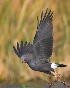 Snail Kite, found in marshes and wetlands with an abundance of Apple Snails and fresh water Crabs
