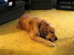 Kitten attacks Golden Retriever - Golden Video of the Week Dec 16, 2012