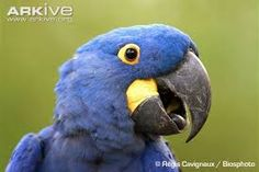 Image result for hyacinth macaw