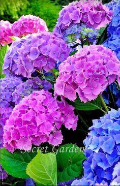 Kne of my fav Beautiful Rose Flowers, Rare Flowers, Tulips Flowers, Big Flowers, Amazing Flowers, Beautiful Gardens, Hydrangea Garden, Hydrangea Flower, Purple Flowers Wallpaper