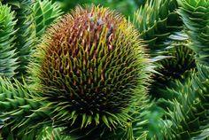 Fruit de l'araucaria