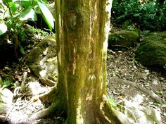 A few miles north of the Panama Canal Zone is the Valley of Square Trees a unique tourist attraction where trees of the cottonwood family have rectangular trunks.     Unique in the entire world, this group of square-shaped cottonwood trees grow in a valley created from the ashes of a giant volcano – El Valle de Anton.
