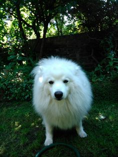 Japenese spitz Japanese Spitz, Puppy Love, Husky, Puppies, Dogs, Animals, Cubs, Animales, Animaux