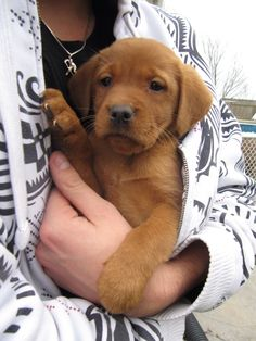 Lab Puppies BlazinDovers New Scotland Gunr. Our Fox Red Labrador Retriever . Fox Red Labrador Puppy, Red Lab Puppies, Puppies And Kitties, Rottweiler Puppies, Cute Puppies, Cute Dogs, Labrador Puppies, Havanese Puppies, Doggies