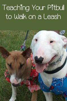 One of the easiest topics in my pitbull puppy training tips is leash walking. Most people thing leash training is difficult, but it's actually quite simple.