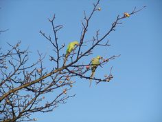 Parrots in London. Indian Ring Neck ( introduced)
