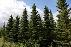 spruce tree forest - Google Search