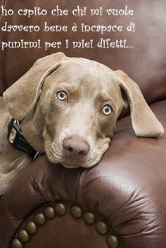 Weimaraner resting on a leather sofa.
