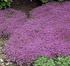 600 Creeping Thyme Seeds Ground Cover Seeds-THYMUS | Etsy Purple Ground Cover, Ground Cover Plants Shade, Perennial Ground Cover, Ground Cover Seeds, Low Growing Ground Cover, Beautiful Rose Flowers, Purple Flowers, White Flowers, Outside Wall Art