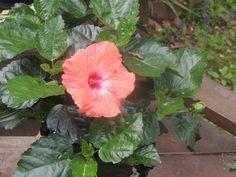 Hibiscus in bloom.
