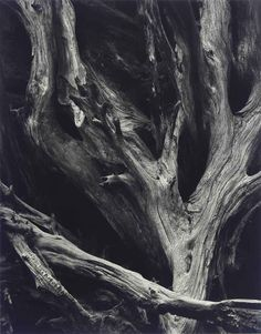 Sequoia Roots by Ansel Adams : night photography Ansel Adams Photography, Artistic Photography, Night Photography, Photography Tips, Nature Photography, Photography Hashtags, Infant Photography, Photography For Sale, Scenic Photography