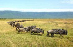 Can #KenyaAndTanzaniaSafari Bring The Whole Action Of Animals From Serengeti To Massai Mara? http://www.globalwidesafaris.com/