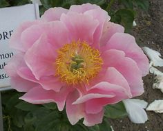 Peonies! That don't need staking. Salmon Dream.