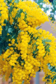 Golden mimosa has been very early to begin flowering this year, due to warm autumn and winter weather, writes Gerry Daly.