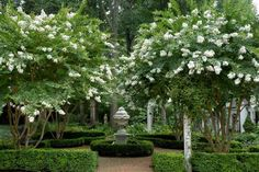 White Crepe Myrtles, boxwoods, and urn