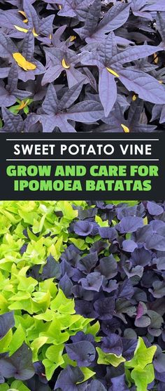 Try Sweet Potato Vines To Add Some All Season Color To