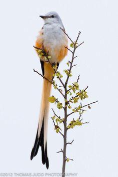 Scissor-tailed Flycatcher bird- photo by Thomas Judd Kinds Of Birds, All Birds, Little Birds, Love Birds, Pretty Birds, Beautiful Birds, Animals Beautiful, Simply Beautiful, Exotic Birds