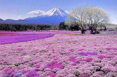 fioritura ciliegi in Giappone