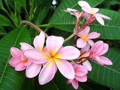 "Singapore Pink Plumeria Plant - Frangipani - 4"""" pot"
