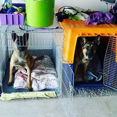 Good girls waiting to be released from their crates. #Germanshepherd #malinois #shepherdsofinstagram #dog #dogstagram #dogoftheday #instadog #pet #petstagram #petoftheday #animal #animallover #solutionk9 #getthebestoutofyourdog #taranaki #taranakidogtrainer #naki #taradise #nz #nzdogtrainer #newzealand #dognz #newplymouth #aotearoa #workingdog #petdog #adventures #funwithdog #nzdogs #dogsofnz