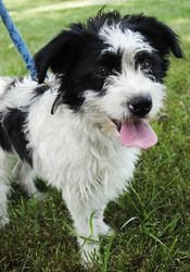 Simon is an adoptable Terrier Dog in Sedalia, MO. Simon has had quite an ordeal. He was rescued off a log jam in the middle or a creek. He has come a long ways learning to trust again. He is quite pla...