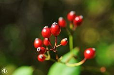Red Berries, Nature Photography, Minimalist, Flowers, Gardens, Spring, Green, Plants, Christmas, Botany, Bright, Fine Art Photography on Etsy, $15.00
