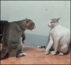 ACG • 2 fast Cats boxing epic fight right hook left hook haha