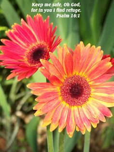 Psalm 16:1  Gerber Daisies Psalm 16, Gerber Daisies, Think On, Bible Verses, Daisy, Window, God, Inspiration, Beautiful