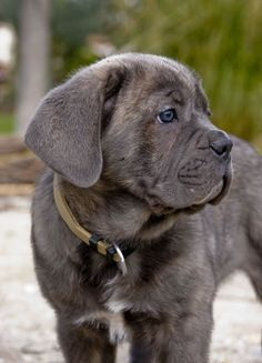 Cane Corso Puppy. My grandmother has one of these- he is SO CUTE!!!