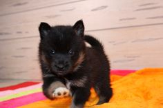 15 Best Pomsky puppies for sale images in 2016 | Cute