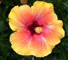 My hibiscus plant