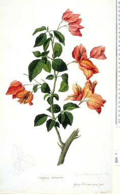 Sydney Parkinson, Bougainvillea Spectabilis, 1768.  NHM. Bougainvillea was discovered by French botanist Philibert Commerçon along the coasts of Brazil in the 1760s. The naturalist named the plant after his captain Louis-Antoine de Bougainville, with whom he sailed around the world aboard La Boudeuse and L'Etoile. Also on board was Commerçon's housekeeper and mistress, Jeanne Baré, who was disguised as a man since women were strictly forbidden on French Navy ships at the time.