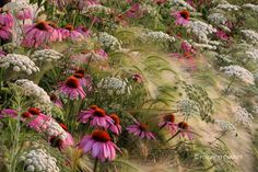 Gorgeous Combination of Echinacea, ammi majus and hordeum jubatum