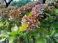bebeteca. Nuestras queridas hortensias con colores de Otoño.