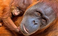 A baby orangutan relaxes near its mother Padana at the zoo in Leipzig, Germany. The baby Orangutan, whose gender is not yet known, was born on Aug. Ape Monkey, Picture Day, Mom And Baby, Germany, Monkeys, August 15, Gender, Creatures, News